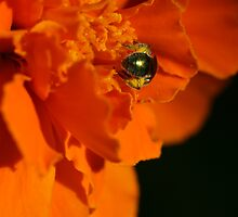 Tiny Insect Hard at Work and Covered in Pollen on Marigold by Bonnie Boden