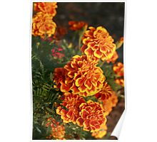 Marigolds Illuminated by Sunshine Poster