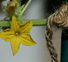 Cucumber Flower Near Twine Support by Bonnie Boden
