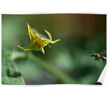 Tiny Insect Coming in for a Landing (To Get To Work) on a Waiting Tomato Flower  Poster
