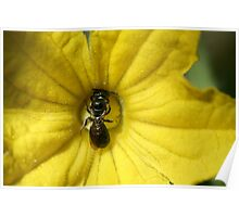 Tiny Insect Working in a Cucumber Flower  Poster
