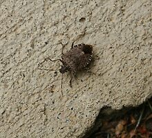 Stinkbug (I Didn't Know That's What It Was) Catch and Release by Bonnie Boden