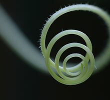 Cucumber Tendril Spiral by Bonnie Boden