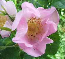 A Wild Rose by gramabarb