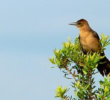 Boat-Tailed Grackle by Rosalie Scanlon