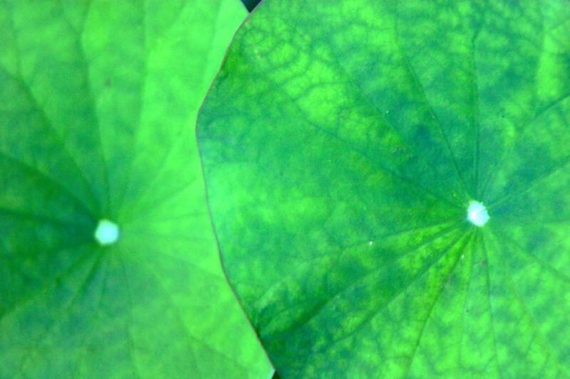 lotus leaves by janer