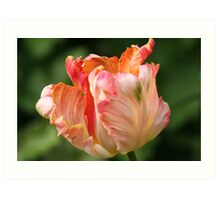 Tulips with a Frill Art Print