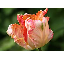 Tulips with a Frill Photographic Print