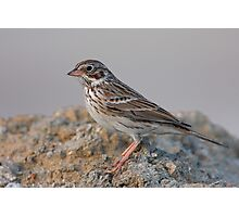 Vesper Sparrow Photographic Print