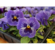 Blue Pansies Photographic Print