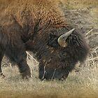 Grazing Buffalo by Dyle Warren