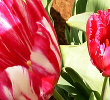 pink tulips by Peta Hurley-Hill