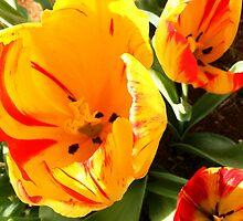 orange tulips by Peta Hurley-Hill