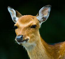 sika deer  by peterwey