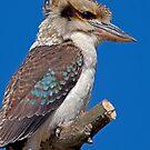 Kookaburra by Krys Bailey