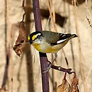 Striated Pardalotes, Pardalotus striatus by Normf