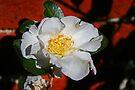 White Camellia by Evita