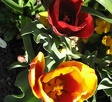 Red and Yellow Tulips by DPrior