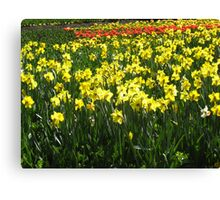 Field of Yellow Daffodils Canvas Print