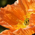 Orange Poppy by Stephie Butler