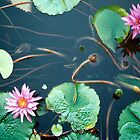 Waterlily by Karen Rich
