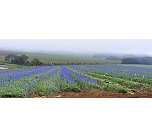 irises at Wynyard's Table Cape, Tasmania Photographic Print