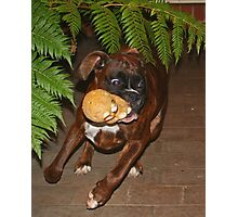 On The Run -Boxer Dogs Series- Photographic Print