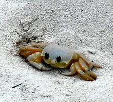 Black Eyed Sand Crab by Carole Boudreau