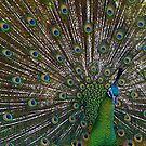 Peacock Splendor by Steve Chapple
