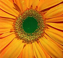 Orange Gerbera - UK457/03 - www.lizgarnett.com by Liz Garnett