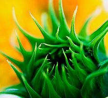 Sunflower Bud by Jeff Harris
