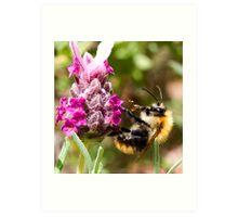 Bumble bee on a Lavender bush Art Print