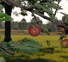 Apples by DaveVaughan
