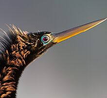 Anhinga by William C. Gladish