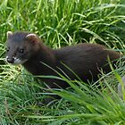 Young Polecat by FoxfireGallery / FloorOne Photography