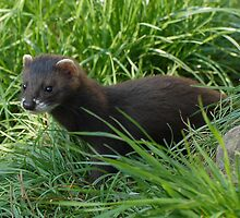 Young Polecat by ©FoxfireGallery / FloorOne Photography