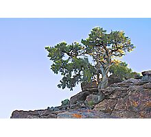 Desert Pine at Sunrise Photographic Print