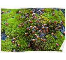 Ladybugs on Mossy Rock Poster