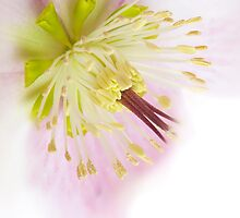 Hellebore by Jacky Parker