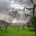 storm approaching almond blossoms by Florian Verhein