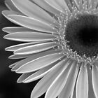 Gerbera in black and white by DiEtte Henderson