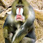 Mandrill Baboon by marymccabe