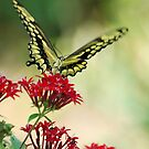 Giant Swallowtail II by Donna Adamski