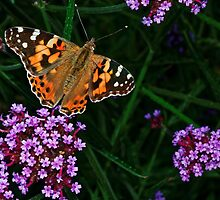 Painted Lady by atomov