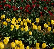 a field of tulips by Atiger97