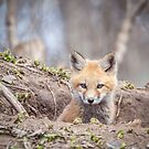 Kit Fox 2011-3 by Thomas Young