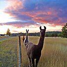 Llama Parade by Tamara Valjean
