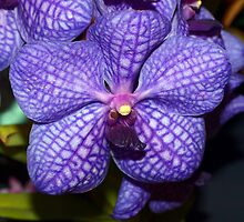 The Orchid - Coerulea by Clive