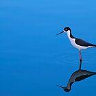 Black-necked Stilt by Richard G Witham