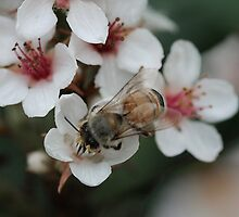 bee being busy in blossom by picketty